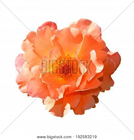 Bright orange rose isolated on white background. Fully open gentle pink rose flower head isolated on white background. Tender pink rose head close up.