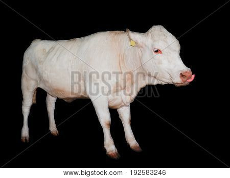 White cow isolated on black background. Cow licks its muzzle full length. Farm animals. Beef cattle isolated on white.