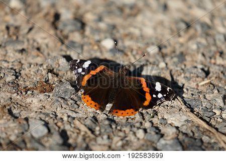 A Butterfly Admiral is taking a sunbath