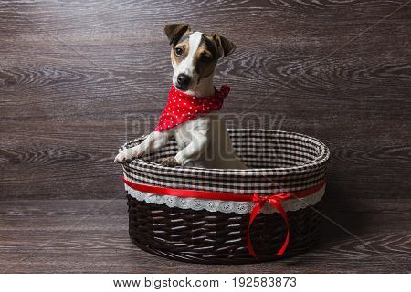 Jack Russell Terrier in brown basket. Dog in a trendy red bandana. The dog looks at the camera. Dark wooden background.