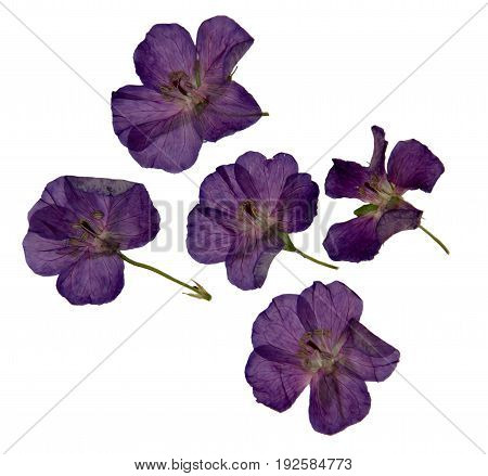 Herbarium Of Purple Dried And Pressed Violet  Flowers Isolated
