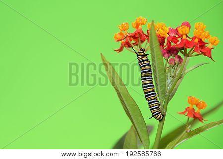 Monarch butterfly caterpillar feeding on milkweed plant on blossom