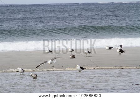 Seagulls on the beach - Port Stanley Falkland Islands
