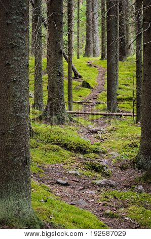 Footpath in pristine spruce forest of Finland.