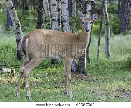 Deer White Tail Doe Female Close Up