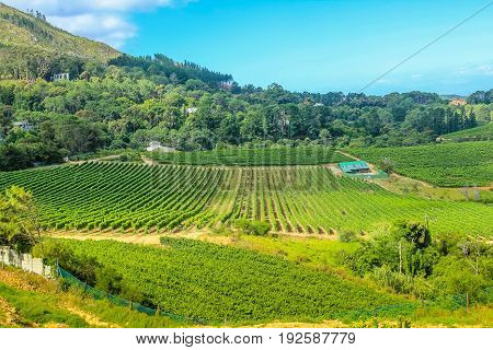 Agricultural farmland with rows of grape vines in a vineyard landscape. Constantia valley, South Africa, Western Cape, famous Wine Route near Cape Town.