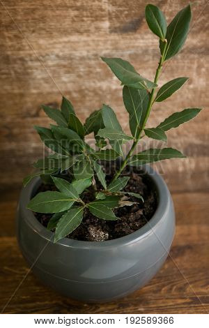 Bay leaf plant in pot on wooden table in front of wooden wall.