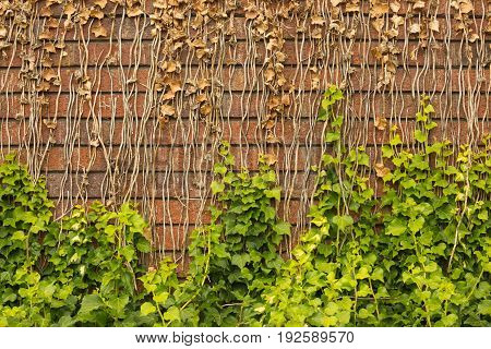 Ivy on old red brick wall background