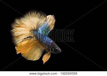 Capture the moving moment of yellow blue siamese fighting fish isolated on black background. Dumbo betta fish