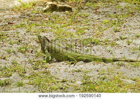 A Green Iguana Latin name Iguana iguana