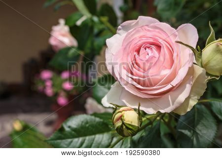 Blooming rosa 'Eden' also known as 'Pierre de Ronsard' 'MEIviolin' and 'Eden Rose 85'