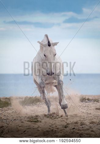 White horse jumps on the beach on the sea and clougs background