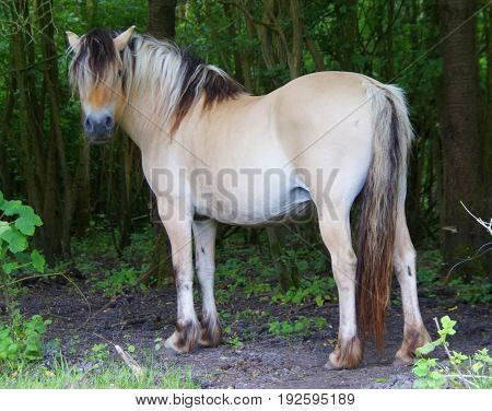 Wild horse looking at the camera while standing in a forrest