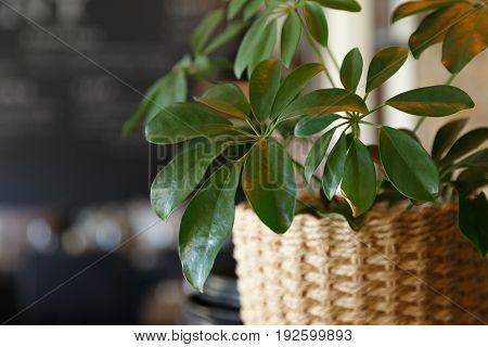 Green plant in a pot. Closeup green flower.