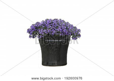Purple Flowers in Vase isolated on white
