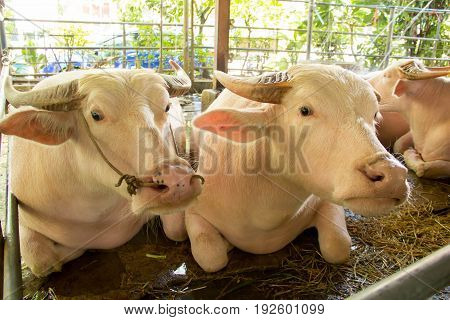Albino buffalo. pink buffalo are resting on the farm.