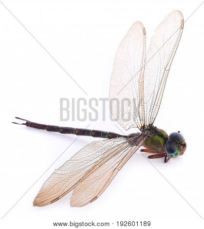 dragonfly isolated on a white background h, clipping, anax, nature, beauty, top, closeup, natural, one, animal, life, body, female, environment, small