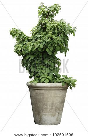 Green plant in a pot isolated on white.