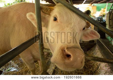 Albino buffalo.,pink buffalo are resting on the farm.