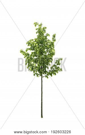 Green beatifull tree isolated on a white background