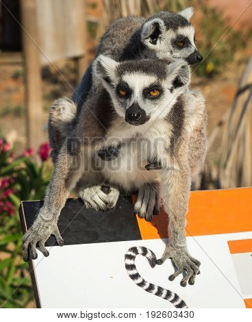 Two Lemurs Sitting Together On  Fence In Athens In Greece