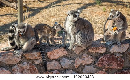 Lemurs Eating Carrot In Athens In Greece