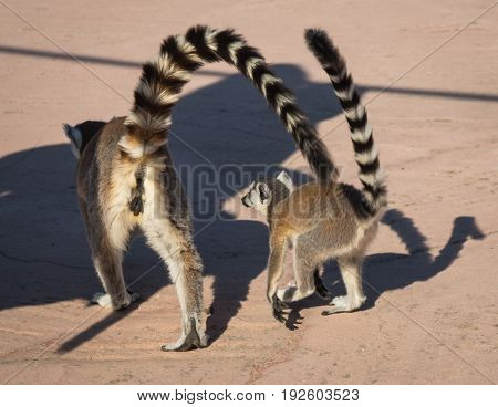 Two Lemurs Walking Together In Athens In Greece