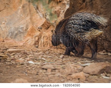 Close Up Image Of Large Spiny Porcupine