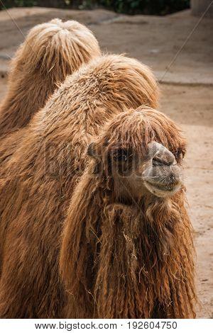 Portrait Of A Big Shaggy Red Camel