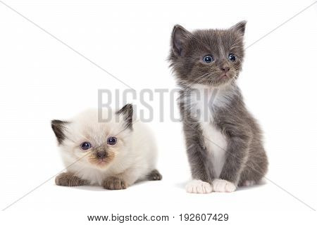 Kittens on a white background Pet Russia Tambov Summer (June)