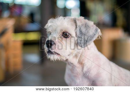 Short hair white shih-Tzu dog gaze at something with blurred background