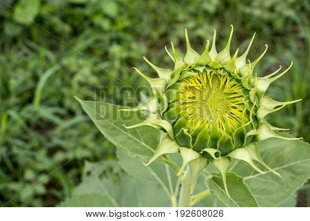Closed up of sunflower bud with green leaf background