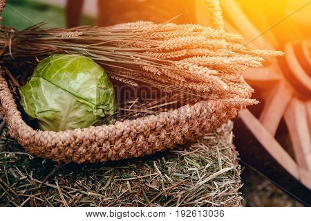 Still life of peasant food: in a basket of cabbage, ears of wheat and oats. The concept of farming and rustic style. The lights of a sun.