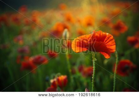 opium field of red poppy seed flower on green stem as background summer and spring drug and love intoxication