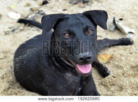 Black Puppy Relax After Play On The Beach