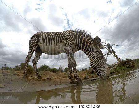 Grevy's Zebra drinking