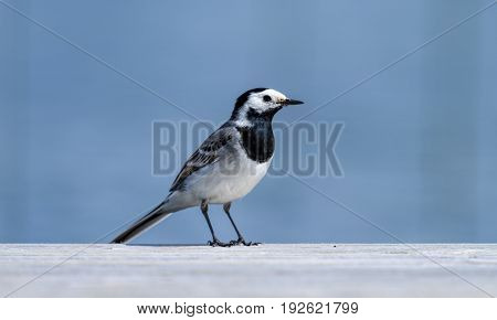 A white wagtail bird at the edge of the jetty by a lake in Finland on sunny summer afternoon