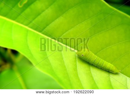 The Green Worm Of Common Jay Butterfly