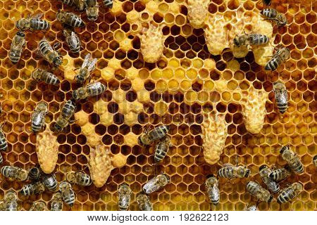 Waxen cottages for growing of chapter of bee family. The birth of a new queen of bees