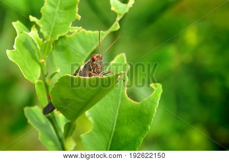 The Brown Grasshopper And Leaf