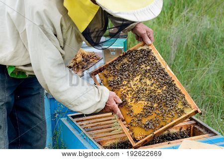 The beekeeper takes out from the hive honeycomb with bees. Apiculture