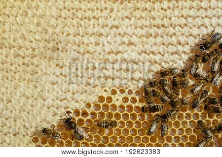 Closeup view of the working bees on honeycomb. Honey cells and working bees. Honeycomb with bees background. Honey cells pattern. Beekeeping