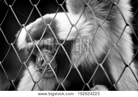 Bw Life Of The Monky In The Cage