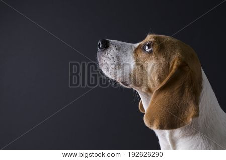 Young beagle looking up isolated on dark background.