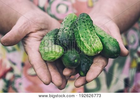 Fresh cucumbers in the hands of an elderly woman.