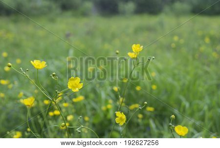Yellow field flower on beautiful background of the green herb