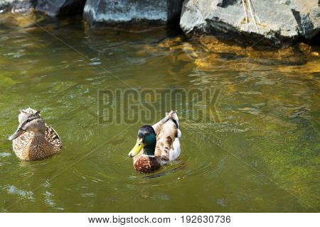 Duck with beautiful feathers floats on cool water in the summer day