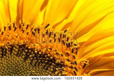 A close up of a sunflower bloom showing seeds blooms and petals in bright yellow.