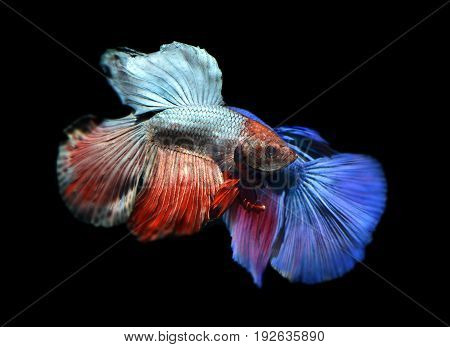 movement of two saimese fighting fish in black background.