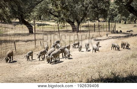 Iberian pigs on a farm in the countryside, Spain